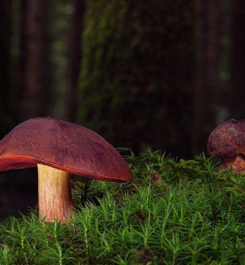 witches placidus, mushrooms, mushroom